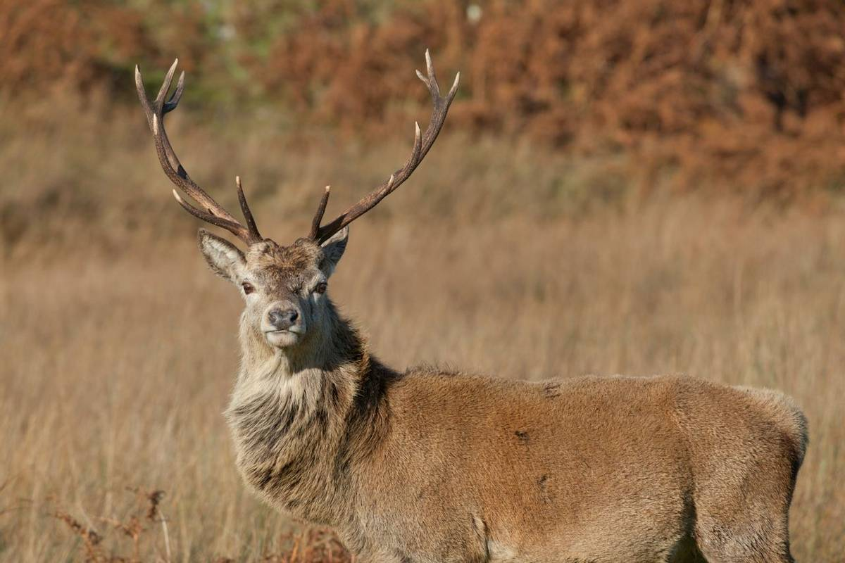 Stag photographed on Jura in Scotland