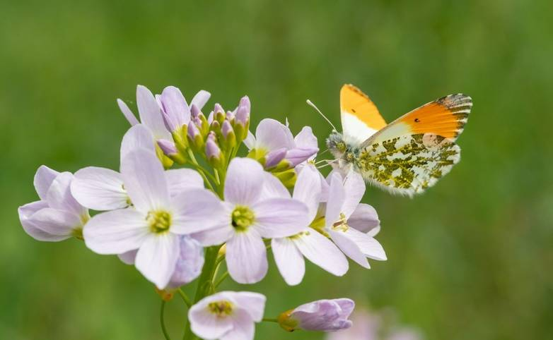 Male Orange Tip Butterfly (Anthocharis cardamines) sitting on the first spring blossoms