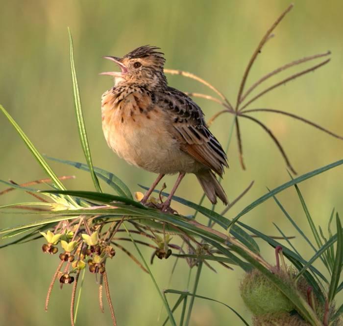 Long-tailed Widow Bird (Karen Malte Nielsen)