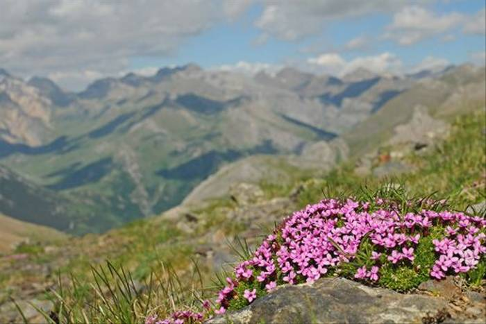 Moss Campion, <i>Silene acaulis</i> on the border (David Morris)