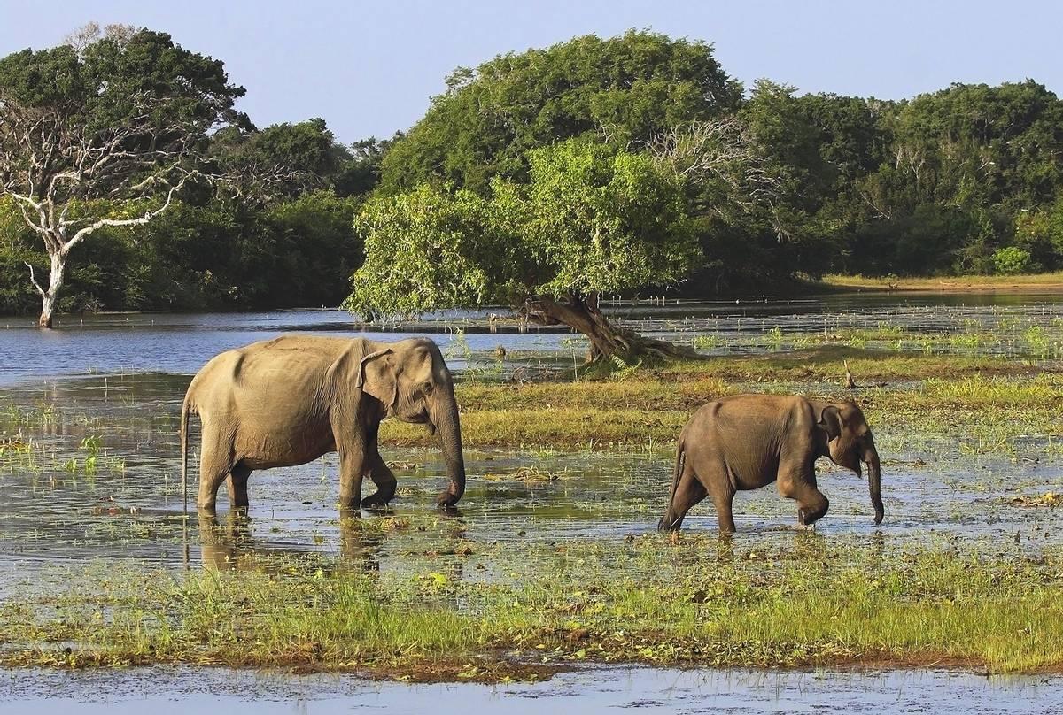Elephants,-Yala,-Sri-Lanka-shutterstock_63312205.jpg