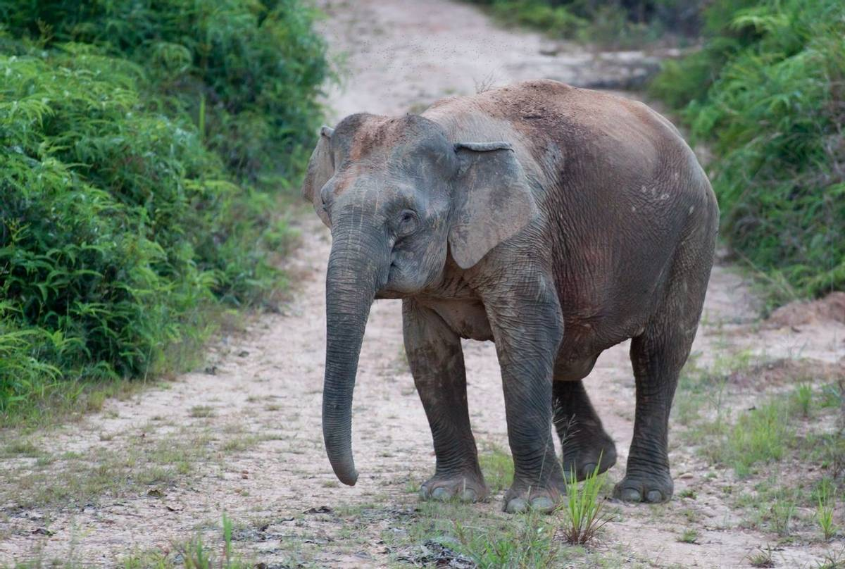Bornean Pygmy Elephant (Jackie Lover)