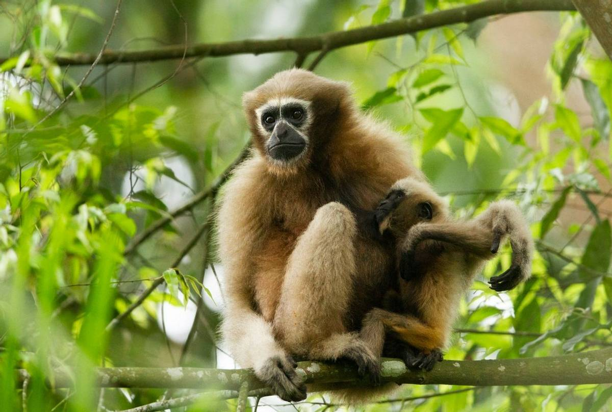 Hoolock Gibbon, India shutterstock_1162391632.jpg