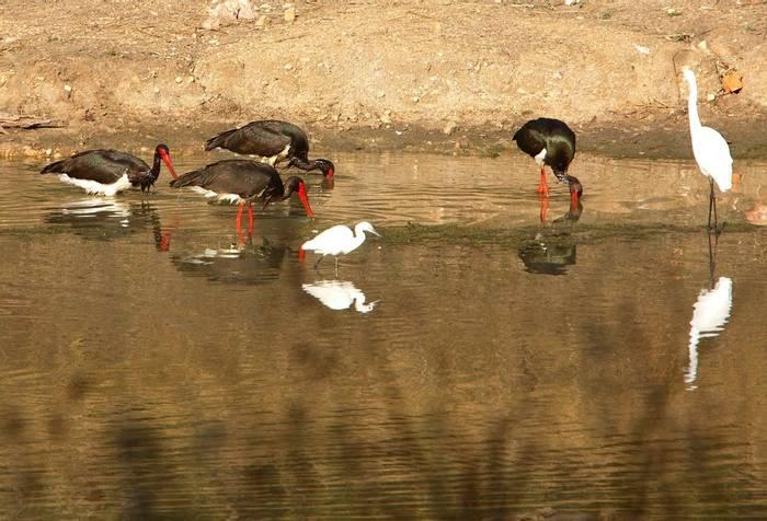 Black Storks, Little and Great Egrets (By Raghu Kulkarni)