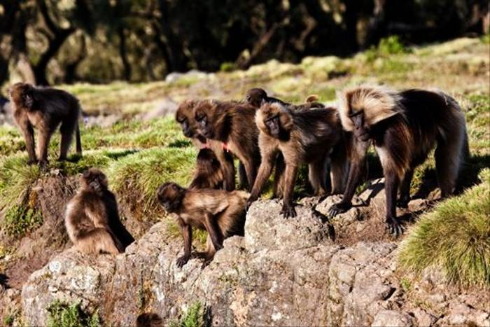 Gelada Baboon herd (Dani Free)
