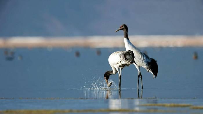 Black Necked Cranes Shutterstock 527771923