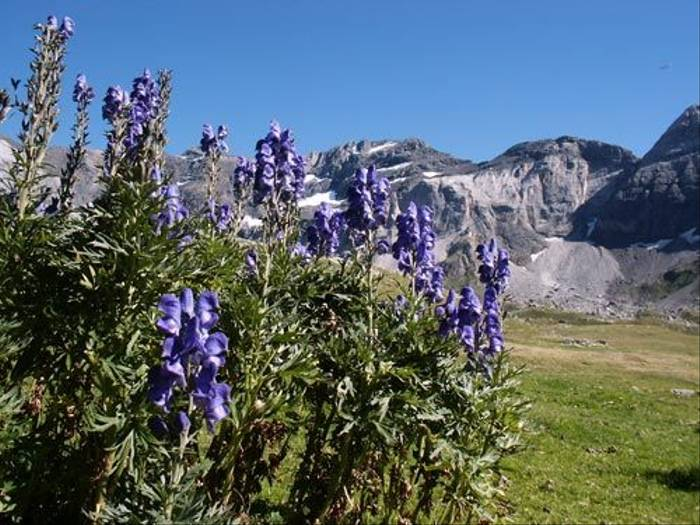 Iris latifolia - English Iris (Mark Galliott)