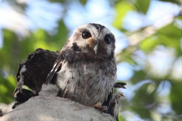 Bare-legged Owl (Steve Wakeham)