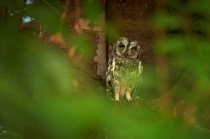 African Scops Owl, South Africa shutterstock_417492205.jpg
