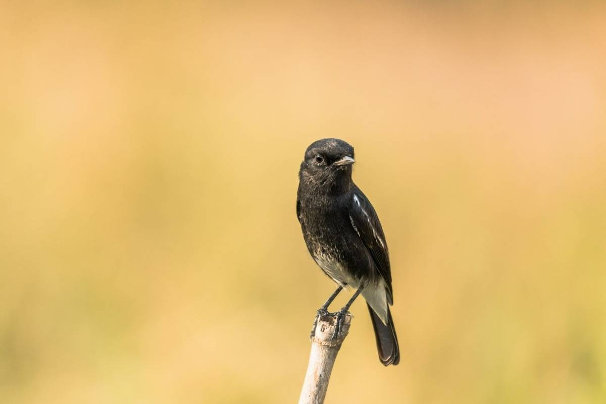 Pied Bush Chat Shutterstock 493212004
