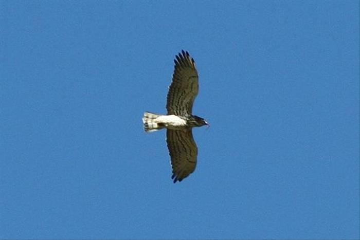 Short-toed Eagle (Peter Spillett)