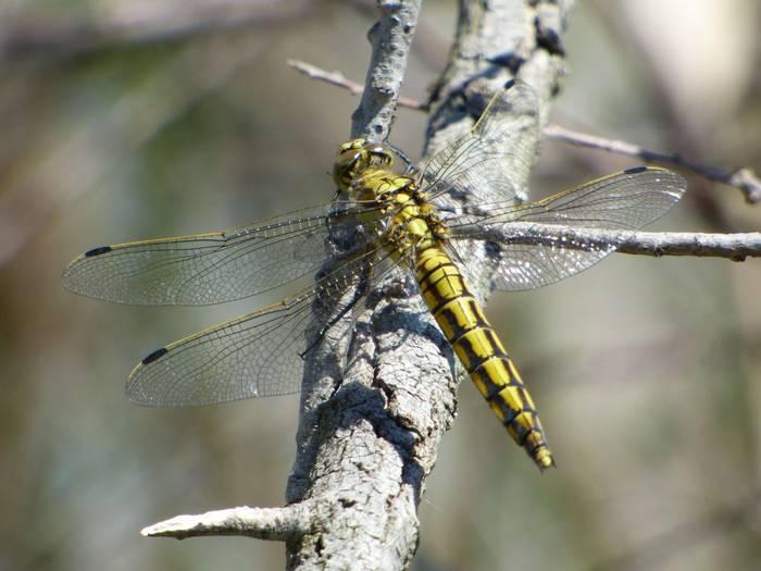 Dragonfly (Debbie Hart)