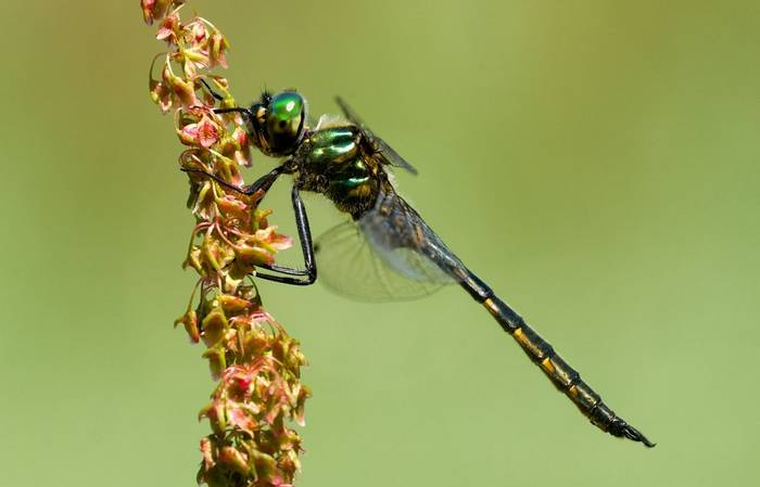Yellow-spotted Emerald