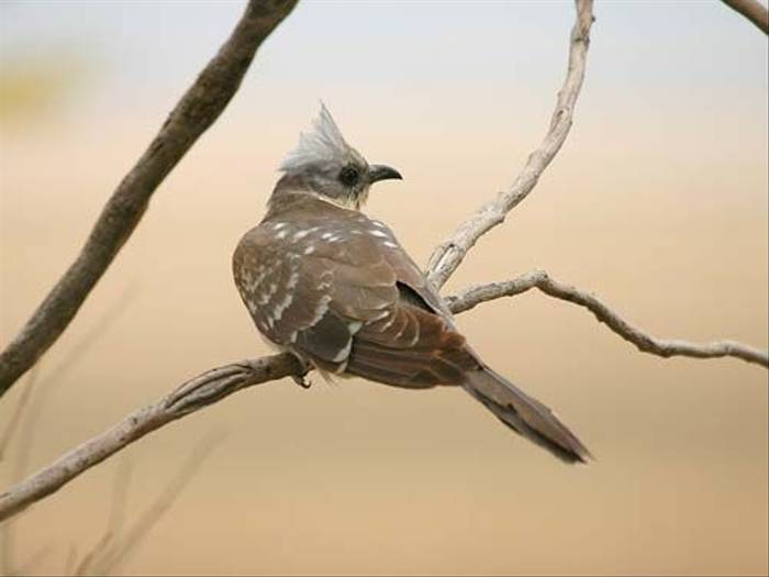 Great Spotted Cuckoo (David Morris)