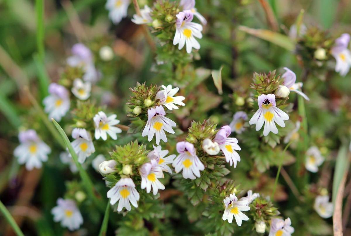 Eyebright shutterstock_1031581288.jpg