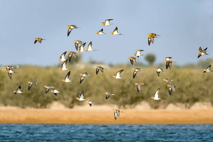 Pin-tailed Sandgrouse shutterstock_480091342.jpg