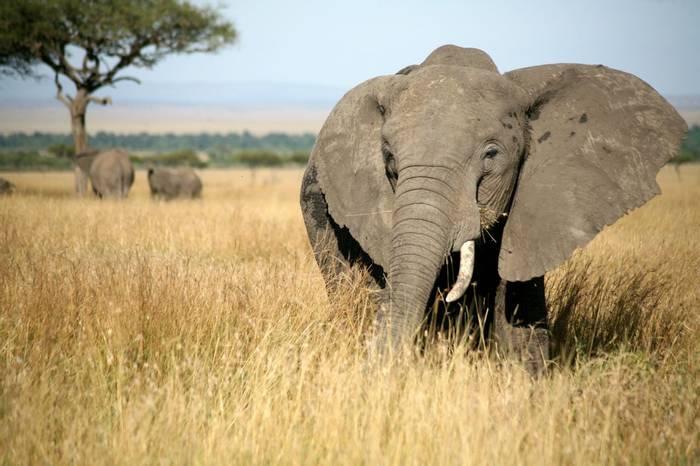 African Elephant, Masai Mara, Kenya (Paul Banton)