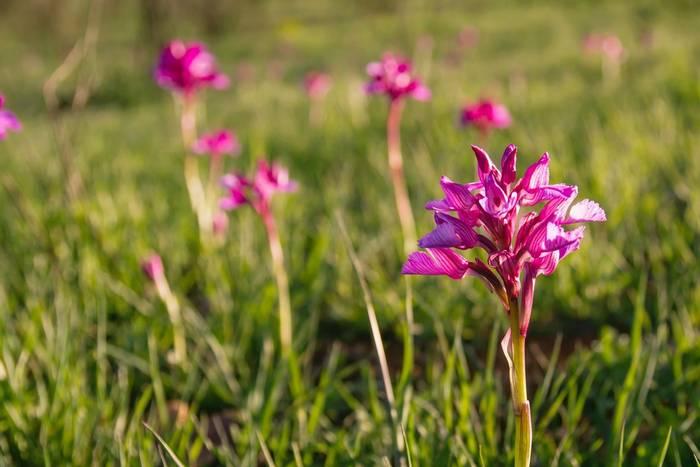 Butterfly Orchids, Spain shutterstock_1572468994.jpg