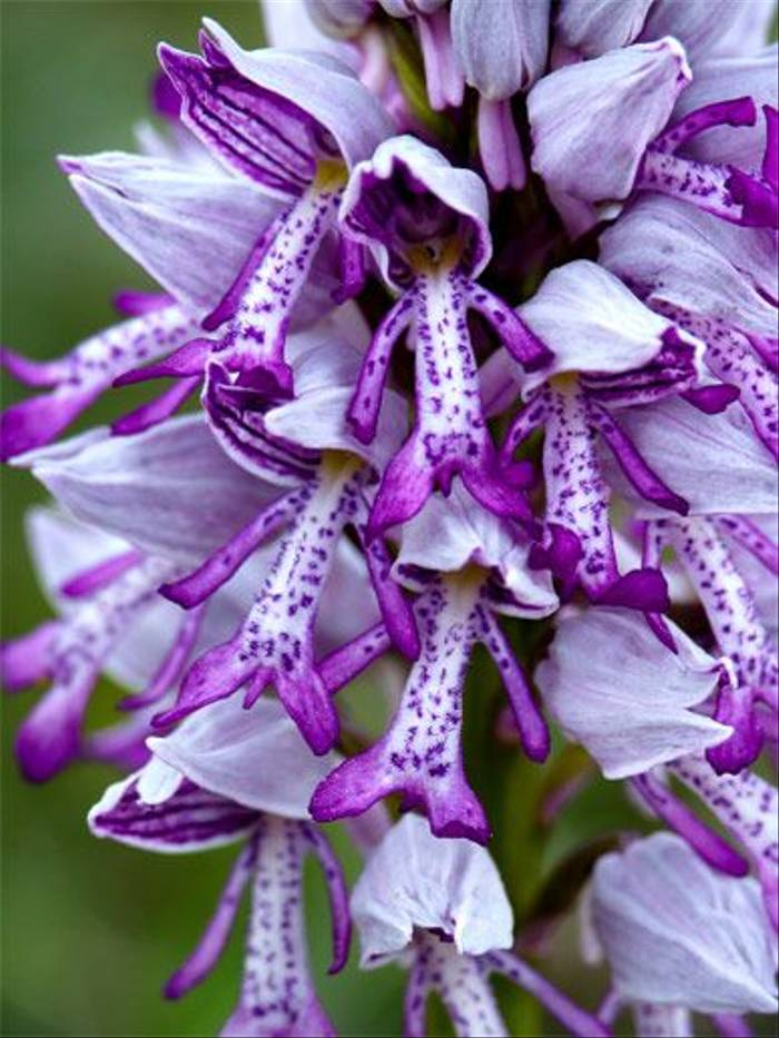 Orchis militaris (John and Jenny Willsher)