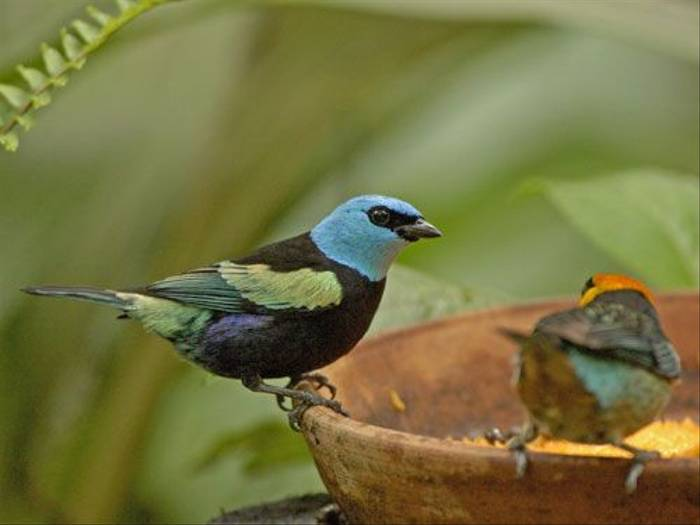 Blue-necked Tanager (Peter Price)