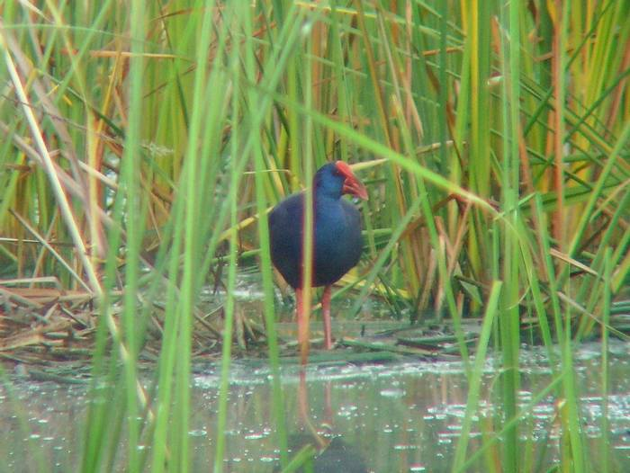 Purple Swamphen  (Tom Mabbett)