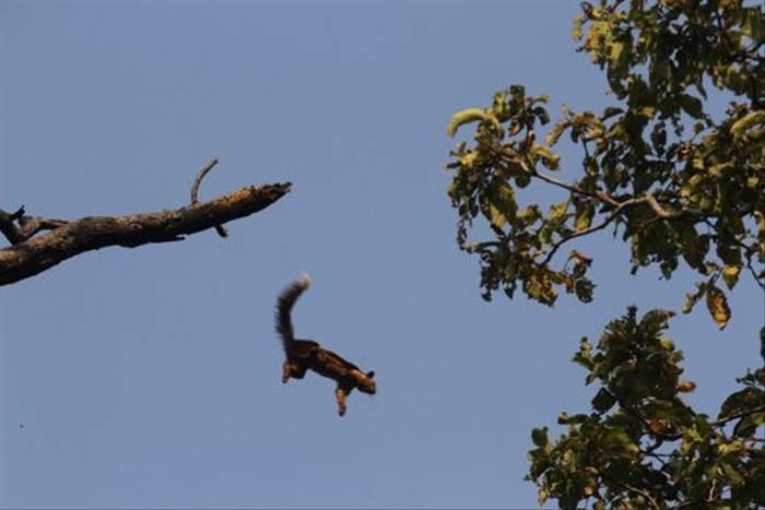 Indian Giant Squirrel (David Raju)