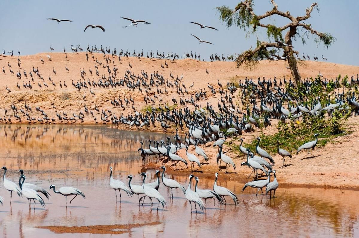 Demoisille cranes Rajasthan