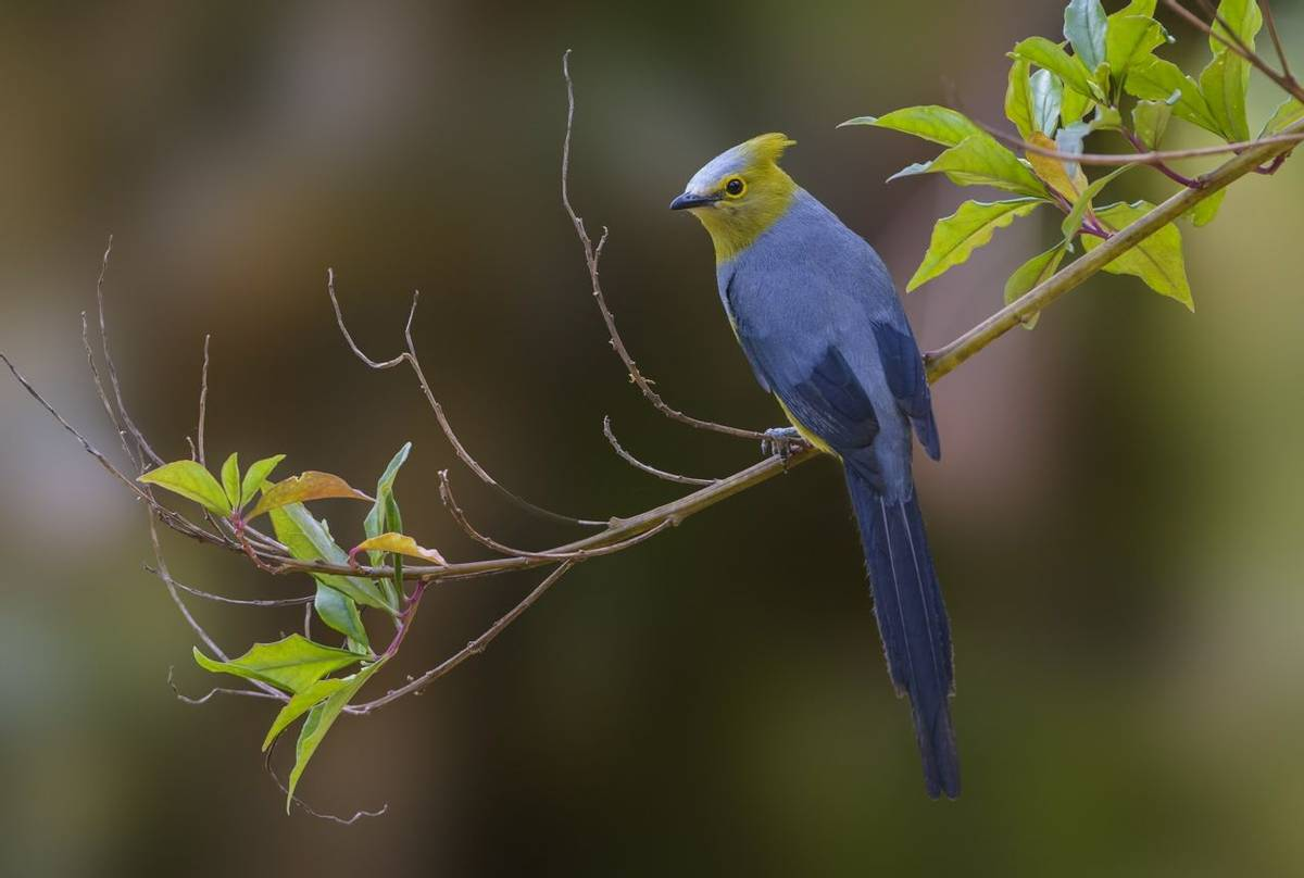 Long-tailed Silky-flycatcher Shutterstock 587580710