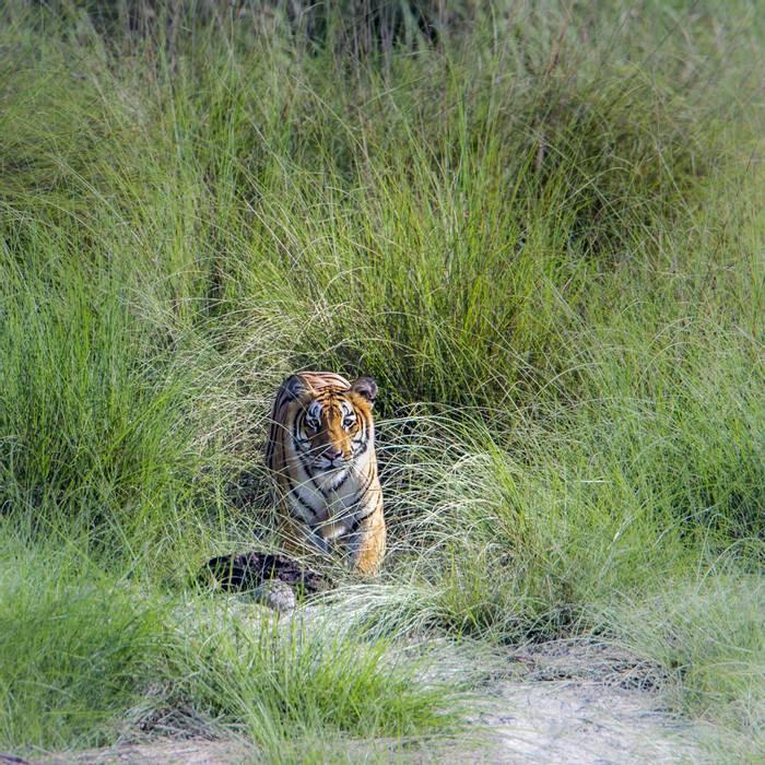 Tiger, Bardia National Park, Nepal shutterstock_464354933.jpg