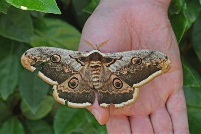 Giant Peacock Moth (David Morris)