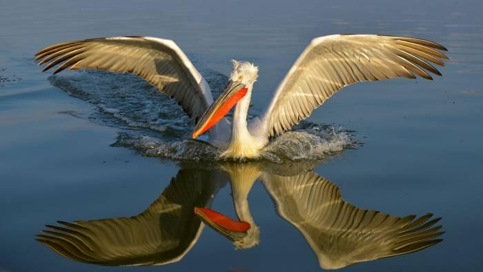 Dalmatian Pelican, Lake Kerkini, Greece shutterstock_1006902517.jpg