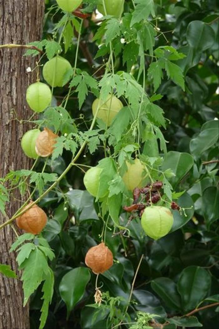 Ballon Vine<i> Cardiospermum halicacabum </i>