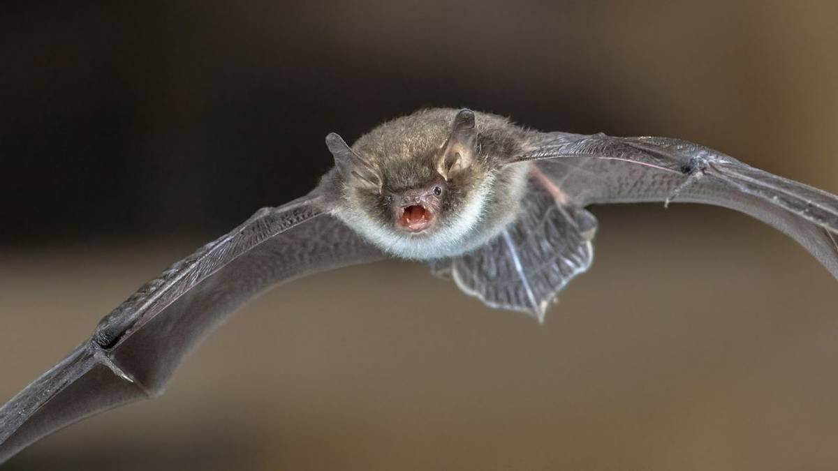 Natterer'S Bat Shutterstock 730309723