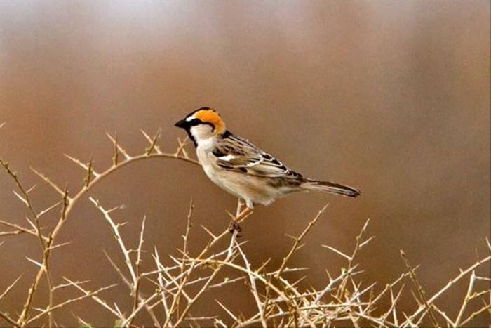 Saxaul Sparrow (Alan Curry)