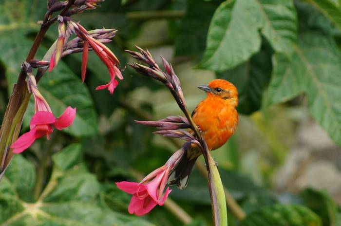 Flame Coloured Tanager (Brian West)
