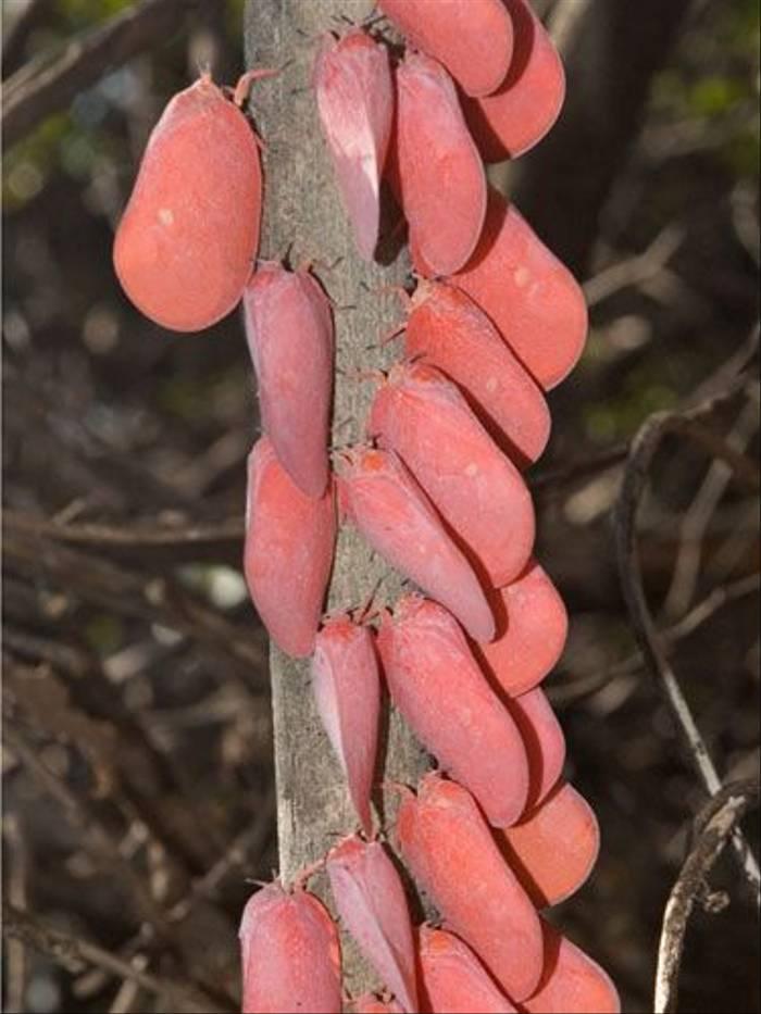Adult Flatid Leaf-Bugs (Paul Stanbury)