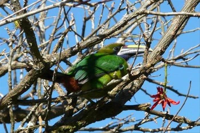 Emerald Toucanet (Jo Bentley)