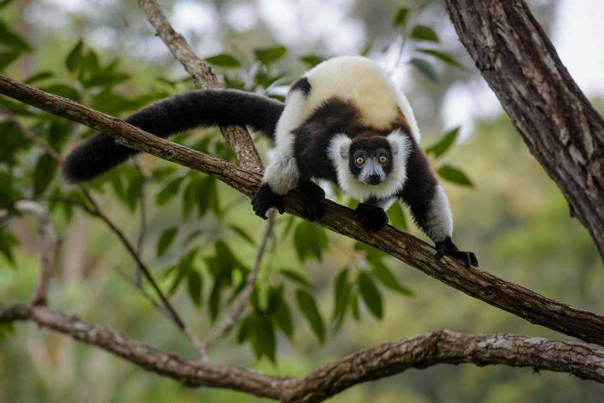 Black And White Ruffed Lemur, Madagascar Shutterstock 796703422