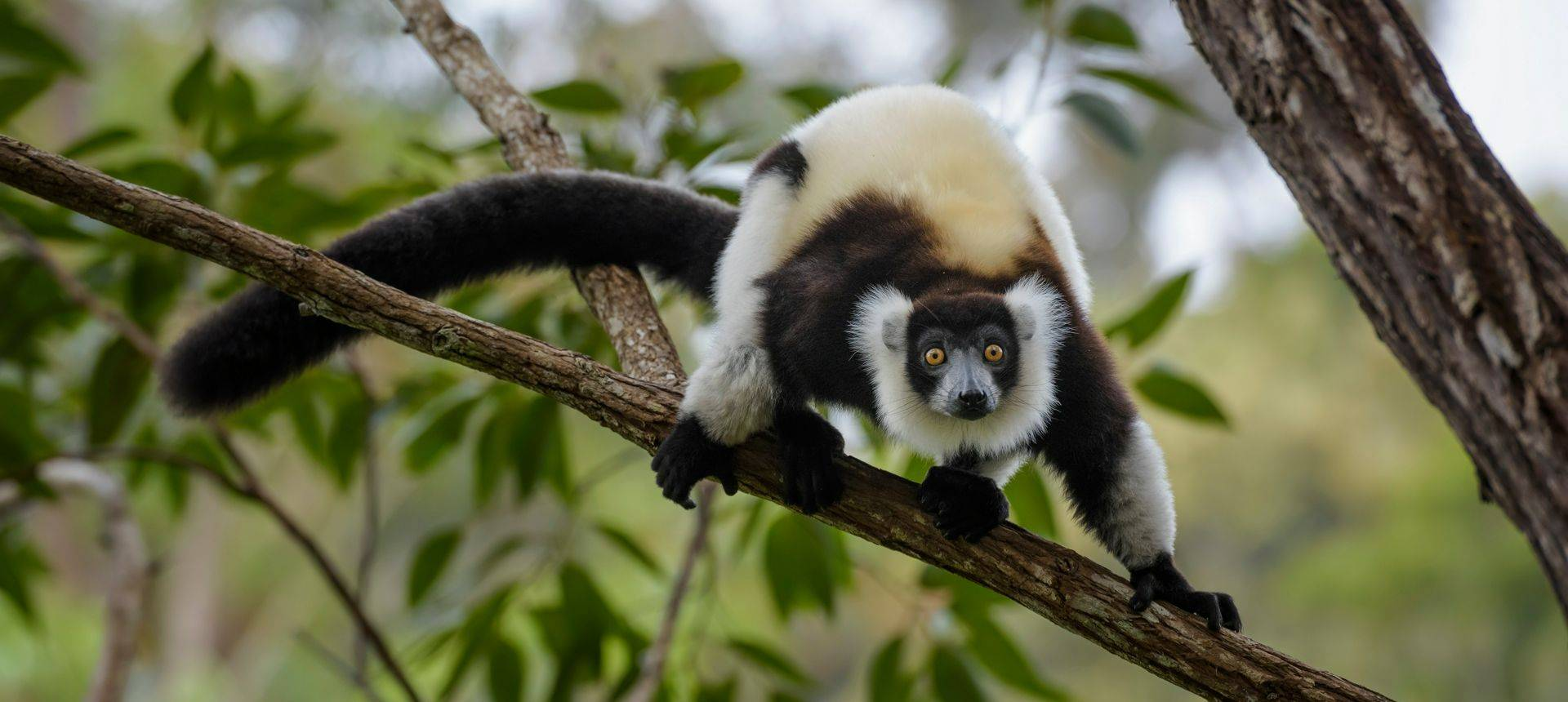 Black And White Ruffed Lemur, Madagascar Shutterstock 796703422