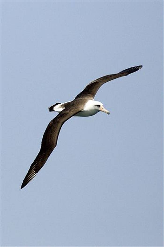 Laysan Albatross (Lee Morgan)
