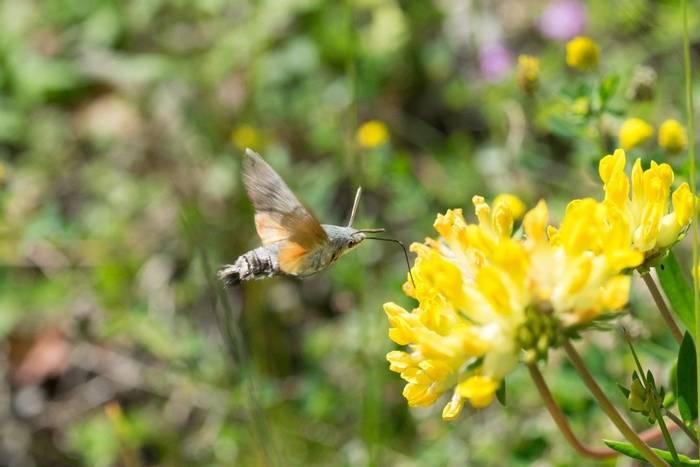 Hummingbird Hawk-moth (Jon Stokes)