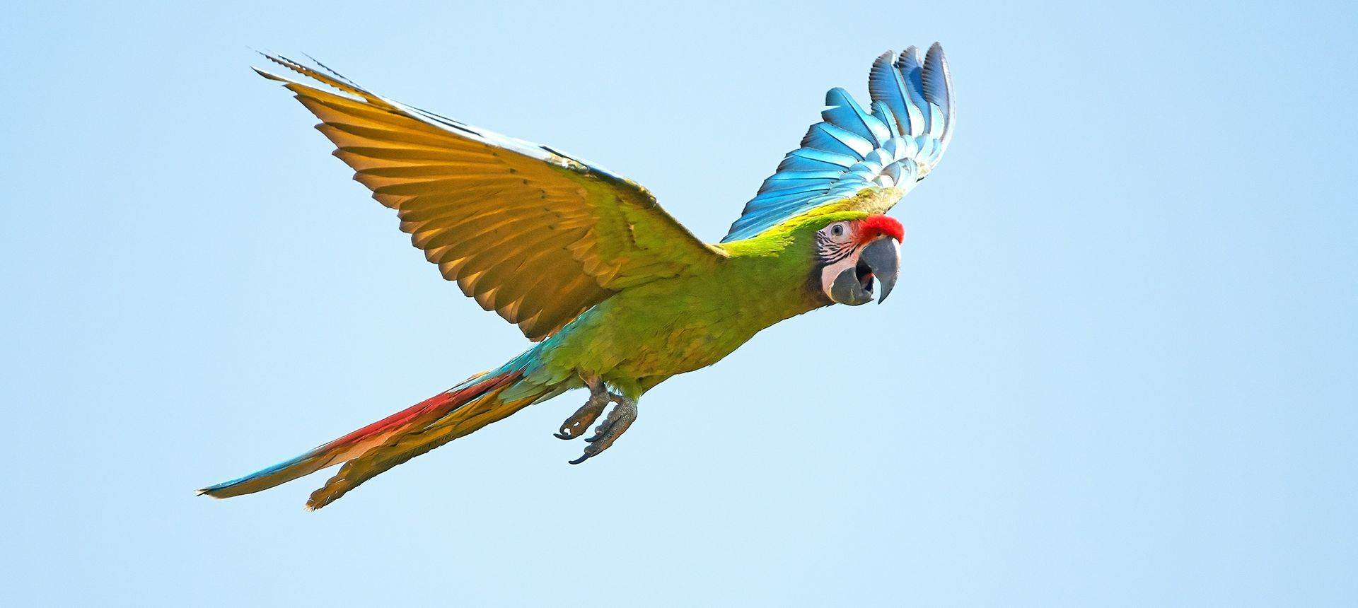 Military Macaw Shutterstock 207036787