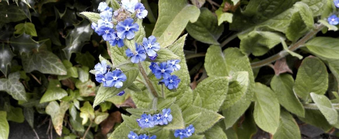 The pretty blue forget-me-not flowers of the green alkanet plant