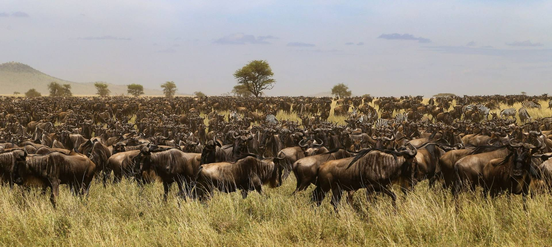 Wildebeest, Tanzania Shutterstock 1019990134