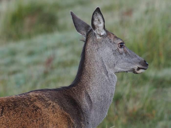 Red Deer hind