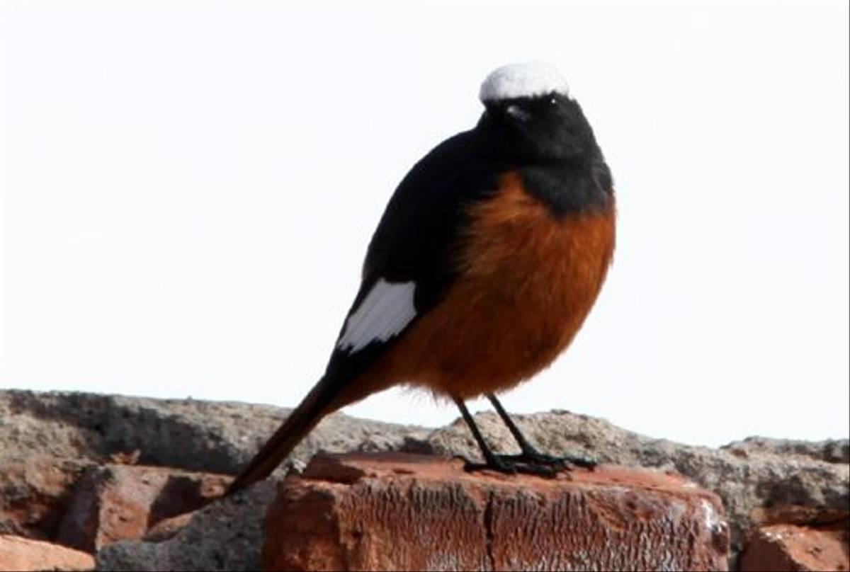 Güldenstädt's Redstart (Phil Haywood)