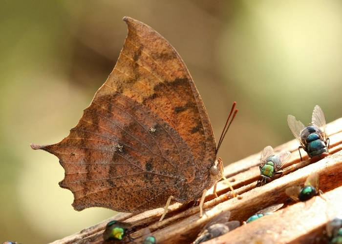Tropical Leafwing (NBC)
