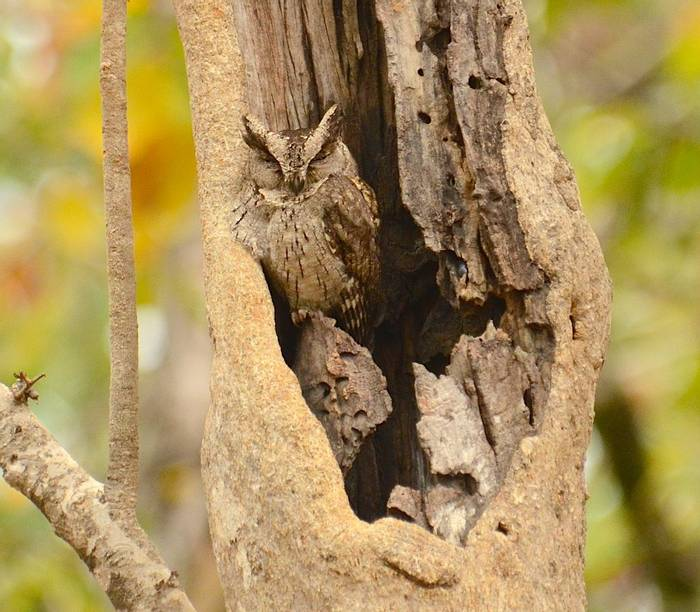 Indian Scops Owl (Pradeep Singh)