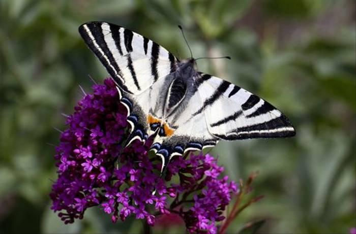 Scarce Swallowtail (Lee Morgan)