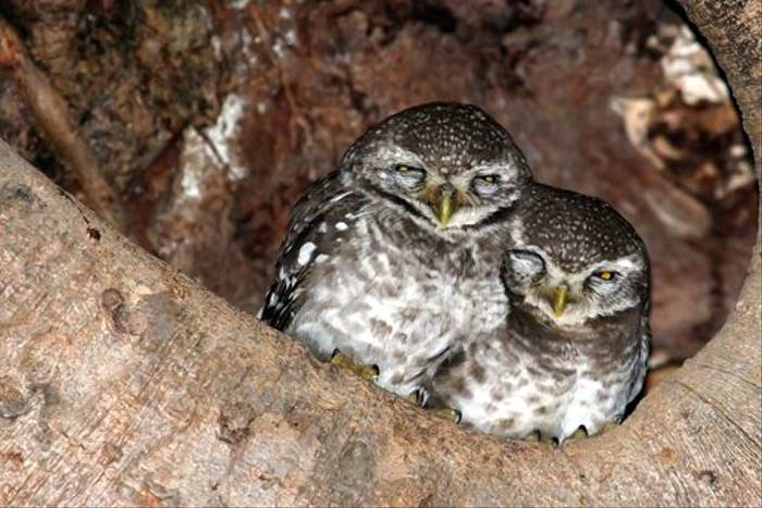 Spotted Owlet (Michael Haley)